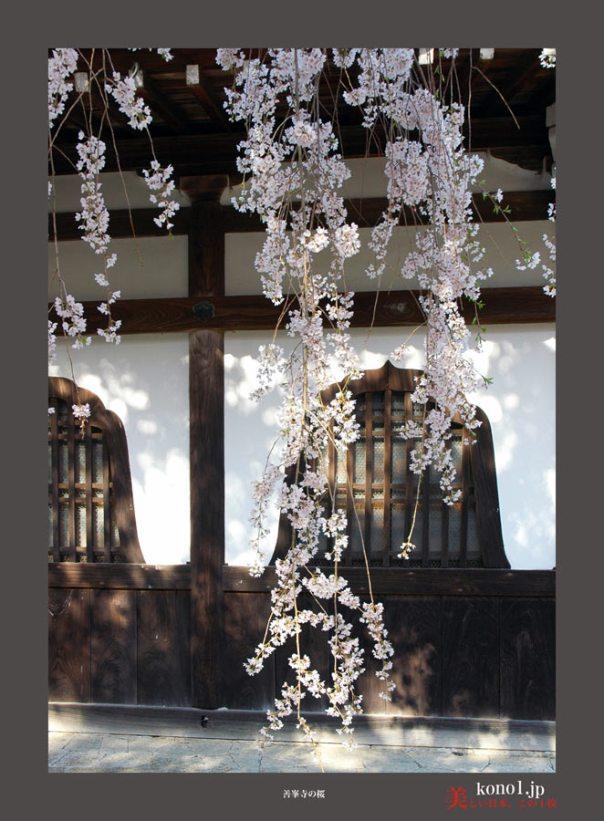 善峯寺の桜06