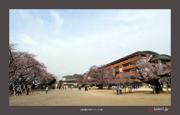 土浦市真鍋小学校校庭の桜01