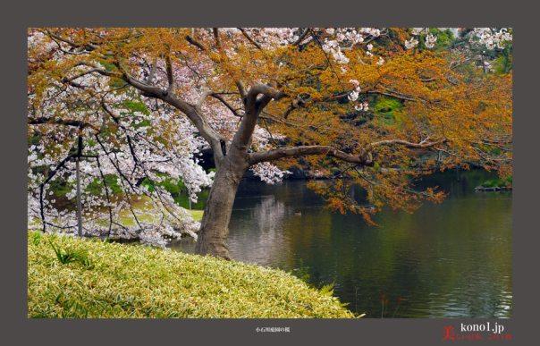 小石川庭園:桜03