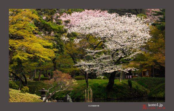 小石川庭園:桜04