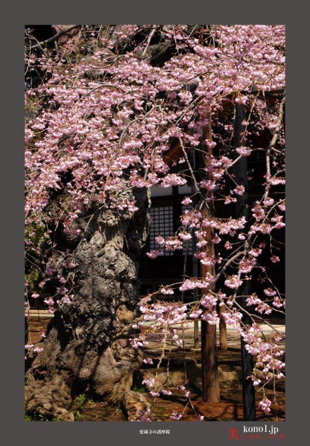 愛蔵寺護摩桜02