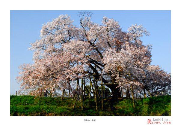 浅井の一本桜03
