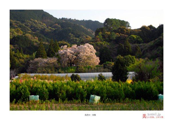 浅井の一本桜06