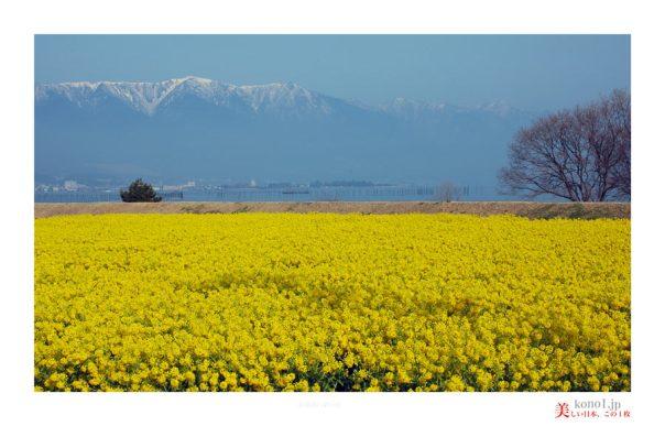 琵琶湖菜の花01