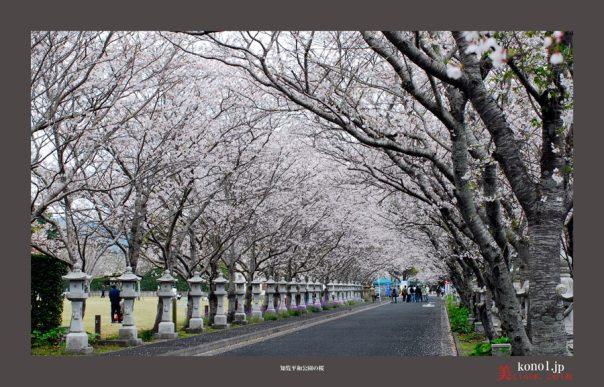 知覧平和公園の桜01