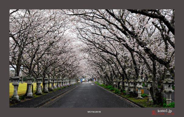 知覧平和公園の桜08