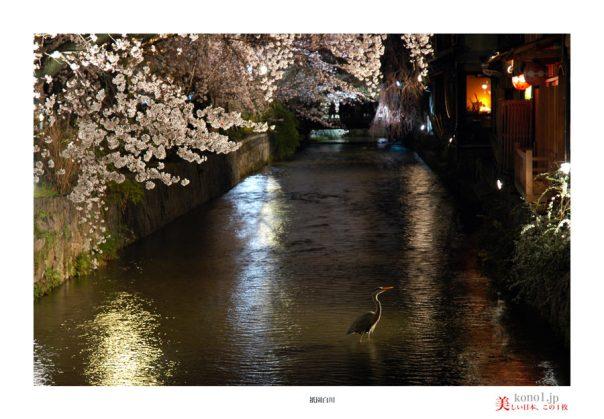 祇園白川桜11