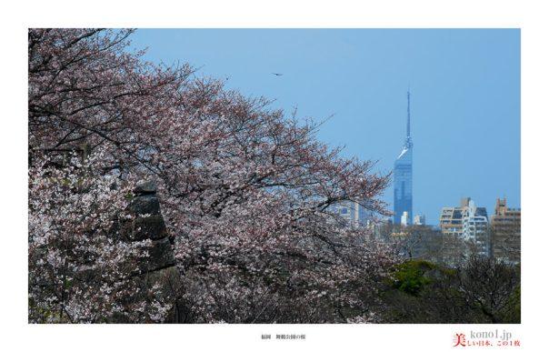 福岡舞鶴公園の桜05