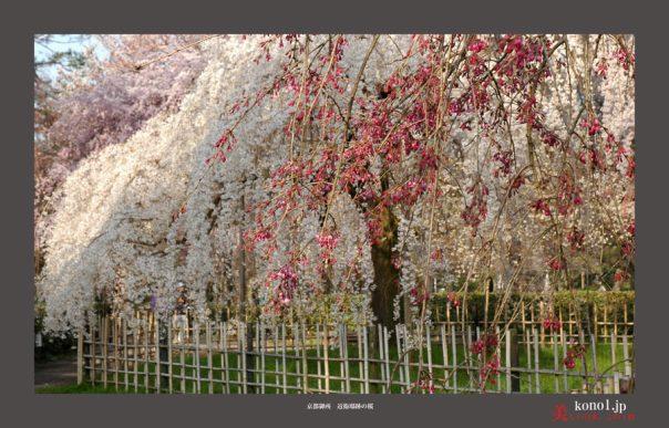 近衛邸跡の桜05