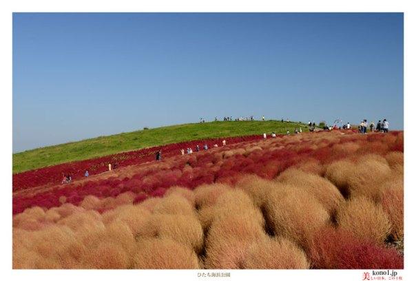ブログ 茨城 ひたち海浜公園 コキア 紅葉