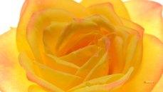 壁紙 黄色いバラ レインボー クローズアップ