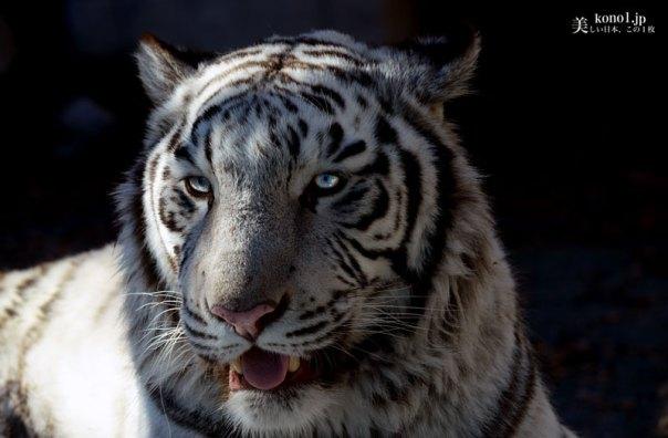 埼玉県 東武動物公園 ホワイトタイガー ベンガルトラ白変種