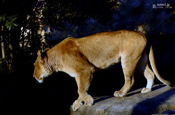 埼玉県 東武動物公園 ライオン Pride of Lion