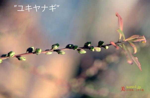 ユキヤナギの芽