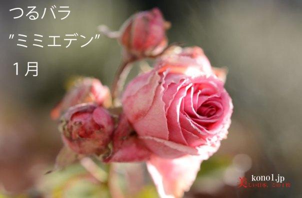 つるバラ 四季咲き ミミエデン