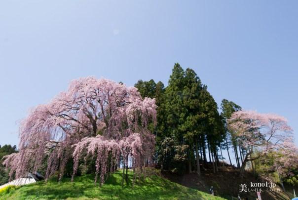 福島県二本松市 合戦場のしだれ桜 菜の花