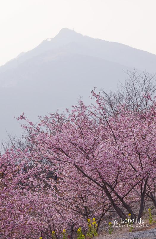 茨城県 フラワーパーク 河津桜