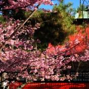 京都市 車折神社 寒緋桜 河津桜