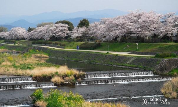 京都市 鴨川 桜 ソメイヨシノ