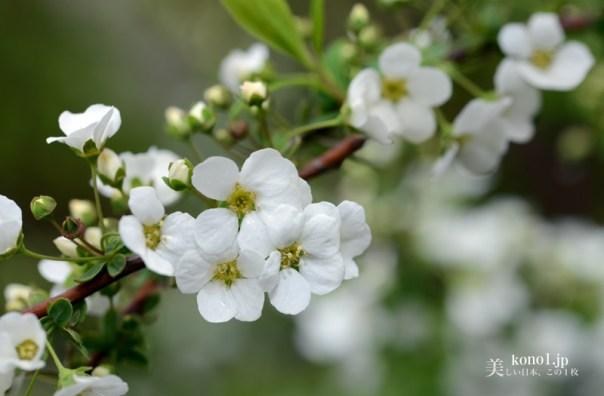 ユキヤナギ マクロ 花