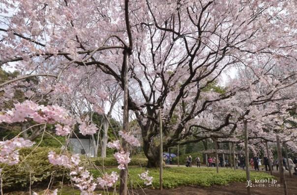 六義園 大シダレ桜
