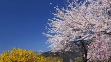 壁紙 桜 北杜市大武川河川公園
