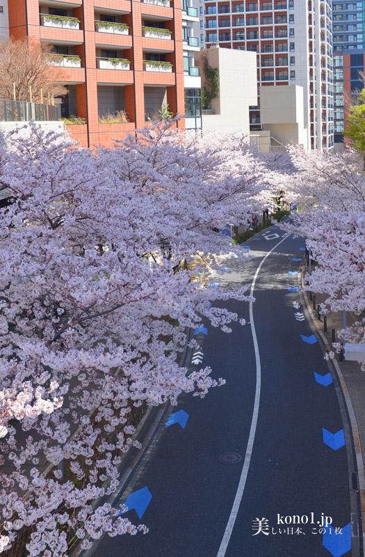 東京都 六本木ヒルズ さくら坂 桜並木 20