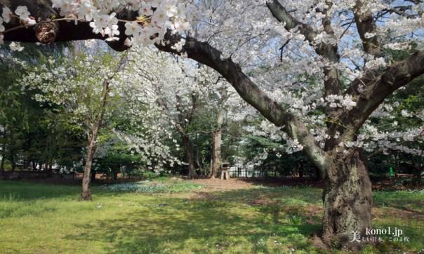 都立公園 岩崎邸 三菱 上野 桜