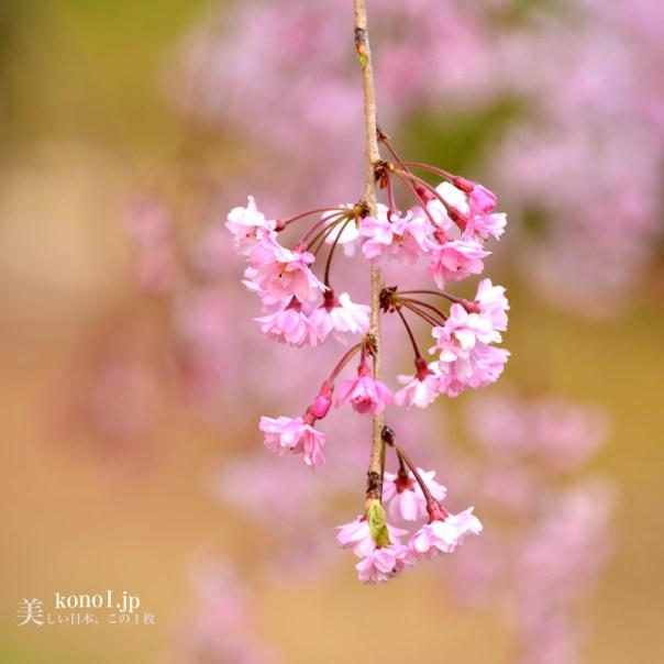 茨城県石岡市 常陸風土記の丘 しだれ桜 巨大な獅子頭