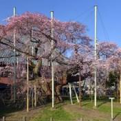 茨城県龍ヶ崎市 般若院 しだれ桜 20