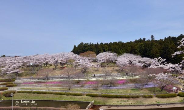 茨城県那珂市 静峰ふるさと公園の桜 ソメイヨシノ 八重桜2000本 日本さくら名所100選地