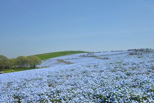 茨城県ひたちなか市 国立ひたち海浜公園 ネモフィラ 青い花 みはらしの丘 絶景