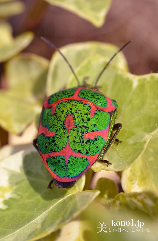 アカスジキンカメムシ 極彩色のカメムシ 緑と赤 大きい