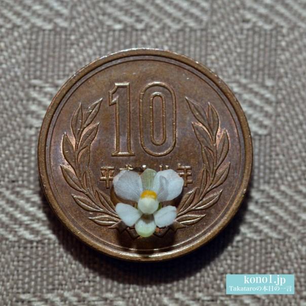 小さな花 フウセンカズラ 白い 花びら5枚