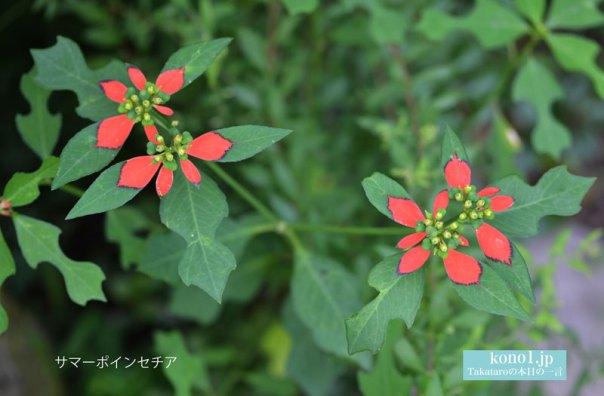 ショウジョウソウ トウダイグサ科 ひょうたん型葉 バイオリン型葉 葉の基部が赤い