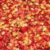 京都 大徳寺高桐院 紅葉