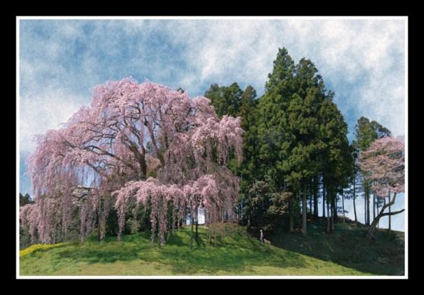 個展PR用_合戦場の大垂れ桜