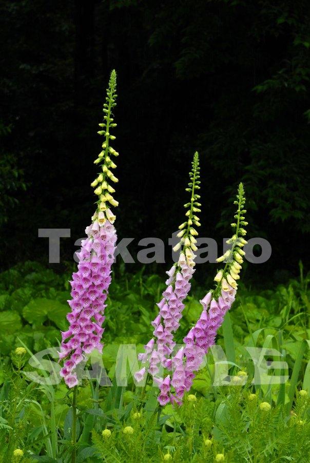 ジキタリスという花には、強い毒があります。 ギリシャ神話の神ゼウスが、妻がサイコロ遊びに熱中したことに嫉妬して、サイコロをジキタリスの花に変えてしまったという伝説の花です。 花言葉は「嫉妬」そして「隠せぬ恋」。