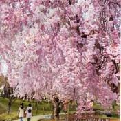 道の駅 茨城県版 フリーペーパー 2016 春号 風土記の丘の紅枝垂桜