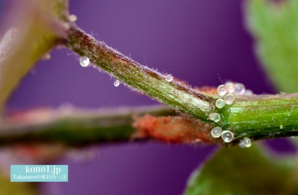 ブドウの若葉に付く虫の卵のような小さな玉