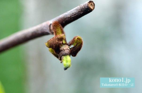 ポポーの栽培 ポポーの育て方 ポポーの受粉 ポポーの花 ポポーの雄しべ雌しべ ポポーの実