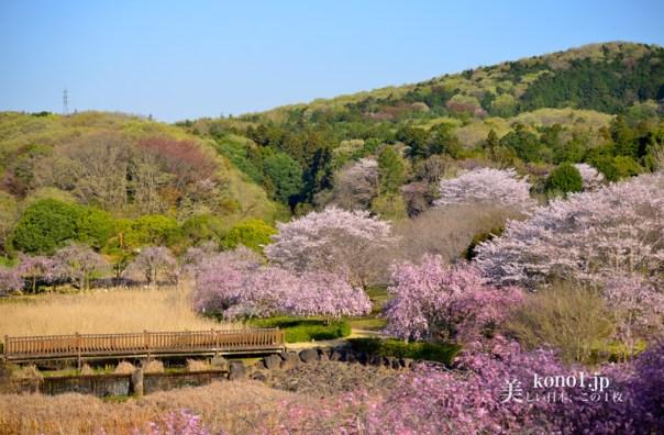 常陸風土記の丘 桜 ひたちふどきのおか 紅枝垂れ桜