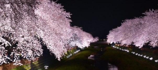野川の桜 ライトアップ 日程