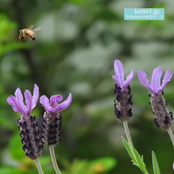 ミツバチ 写真撮影 シャッター速度 ラベンダー
