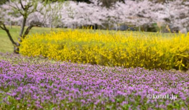 偕楽園の桜 千波湖 千波公園 緑地公園 茨城県水戸市
