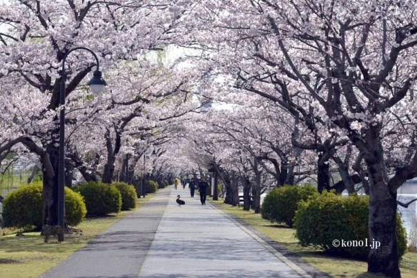 千波湖の桜 水戸 茨城県 偕楽園 千波公園 世界2位の広さの公園 周囲3㎞ 鳥 黒鳥