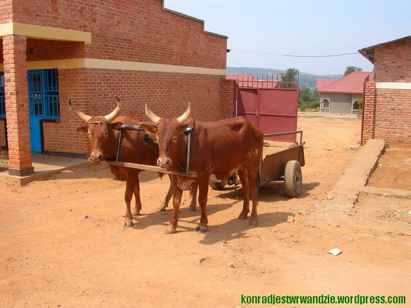 W tym kraju nie ma koni (za wyjątkiem jednego przyjezdnego z Polski), więc krowy pełnią także funkcje pociągowe.