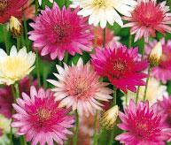 Сухоцветы - как правильно сушить цветы?