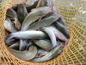 hasil panen dengan kolam terpal