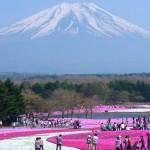 La belleza del musgo rosado en el parque Hitsujiyama